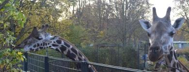 Die Giraffen im Magdeburger Zoo